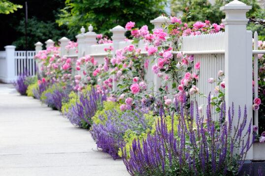 Weißer Gartenzaun bewachsen mit rosa Rosen