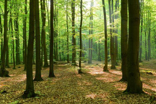 Idee für einen Park oder riesigen Garten mit einem idyllischen Wald aus Laubbäumen ...