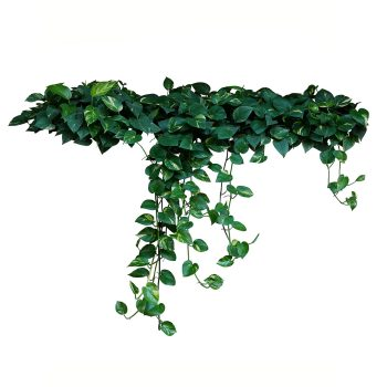 Kletterpflanzen online kaufen