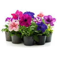 Sommerblumen günstig online kaufen