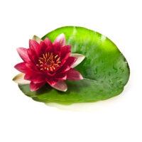 Wasserpflanzen günstig online kaufen