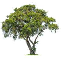 Bäume & Sträucher günstig online kaufen