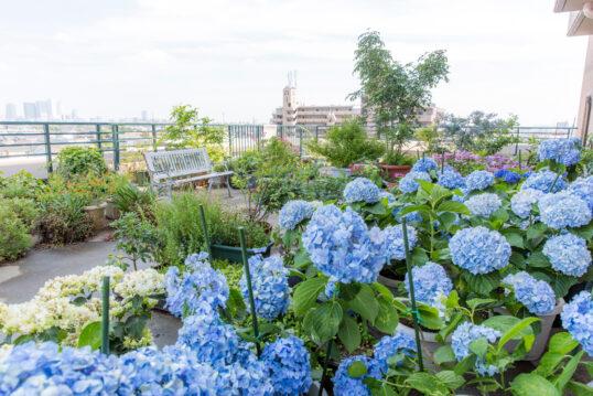 Dachgarten-Idee – Bepflanzte Dachterrasse mit Hortensien & anderen Gartenpflanzen –...