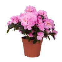 Rhododendren günstig online kaufen