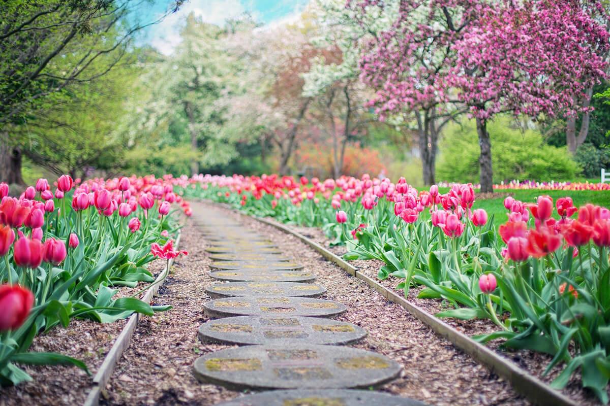 Tulpen halten Kälte aus und können deshalb vor den Eisheiligen nach draußen