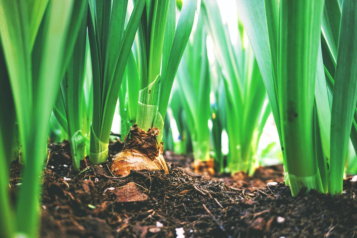 Zwiebelpflanzen trotzen dem Bodenfrost und blühen trotz Kälte im Frühling