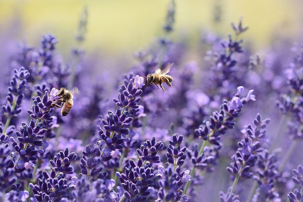 Gestaltung eines insektenfreundlichen Gartens mit Lavendel