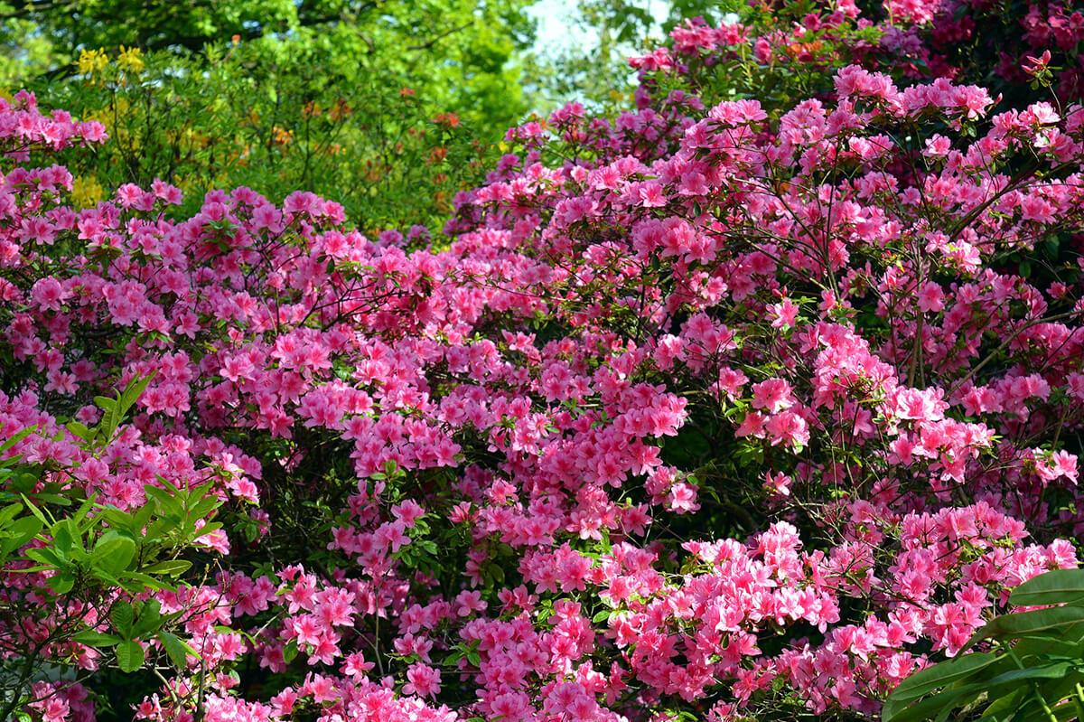Rhododendron mit kleinen, rosafarbenen Blüten