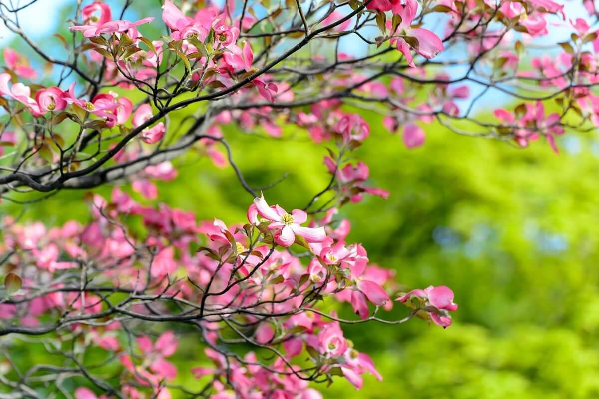 Blumen-Hartriegel in Rosa
