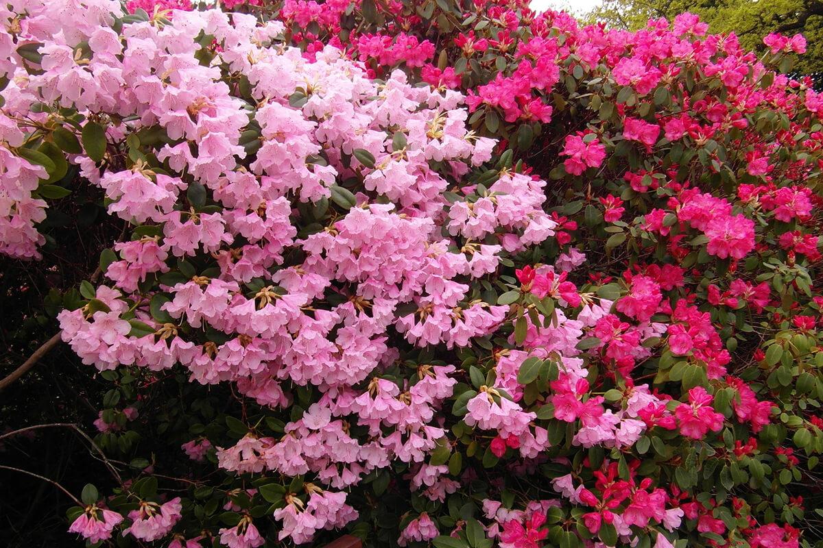 Rhododendron-Sträuche in pink und rosa