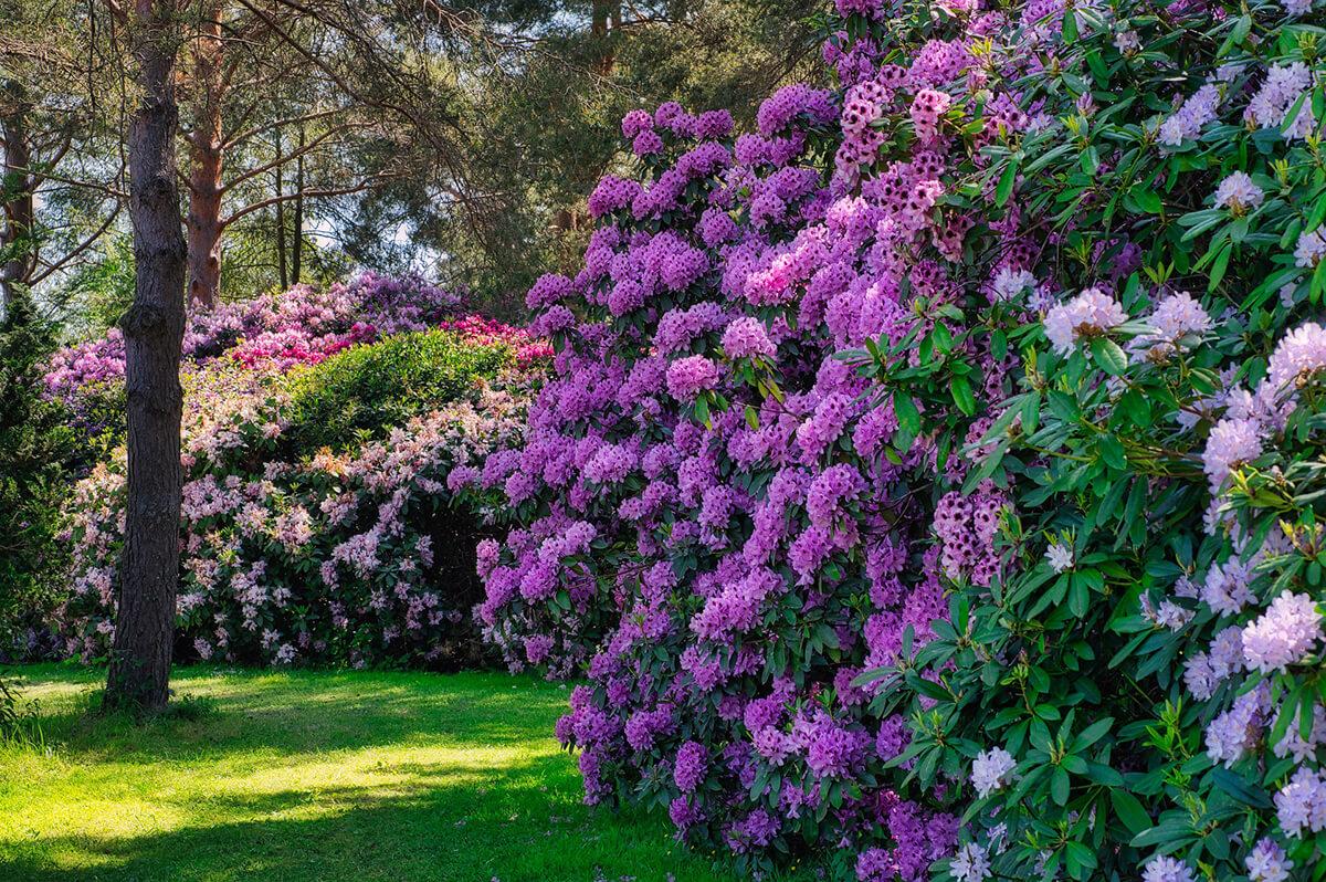 Rhododendron als Hecke