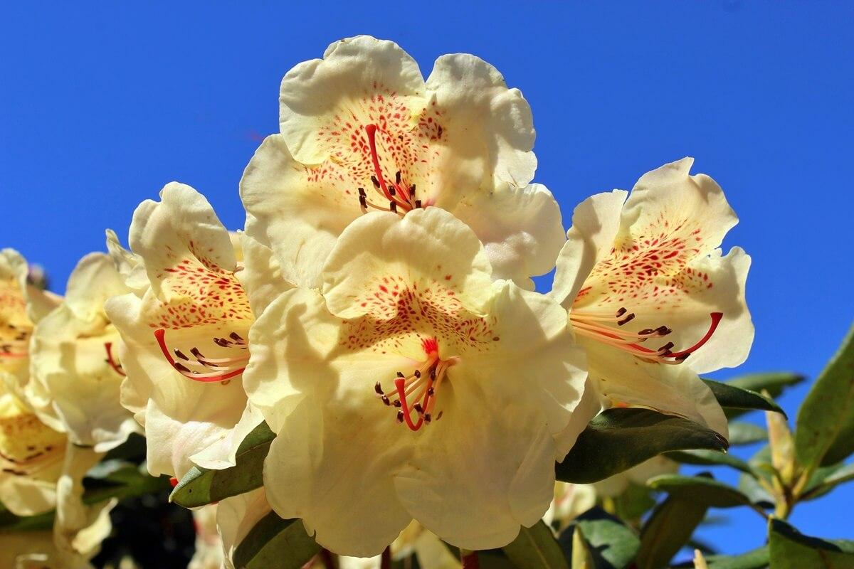 Rhododendron 'Goldbukett' mit gelben Blüten