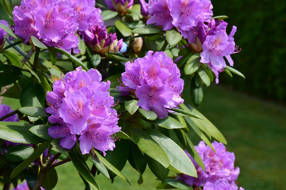 Violette Rhododendren