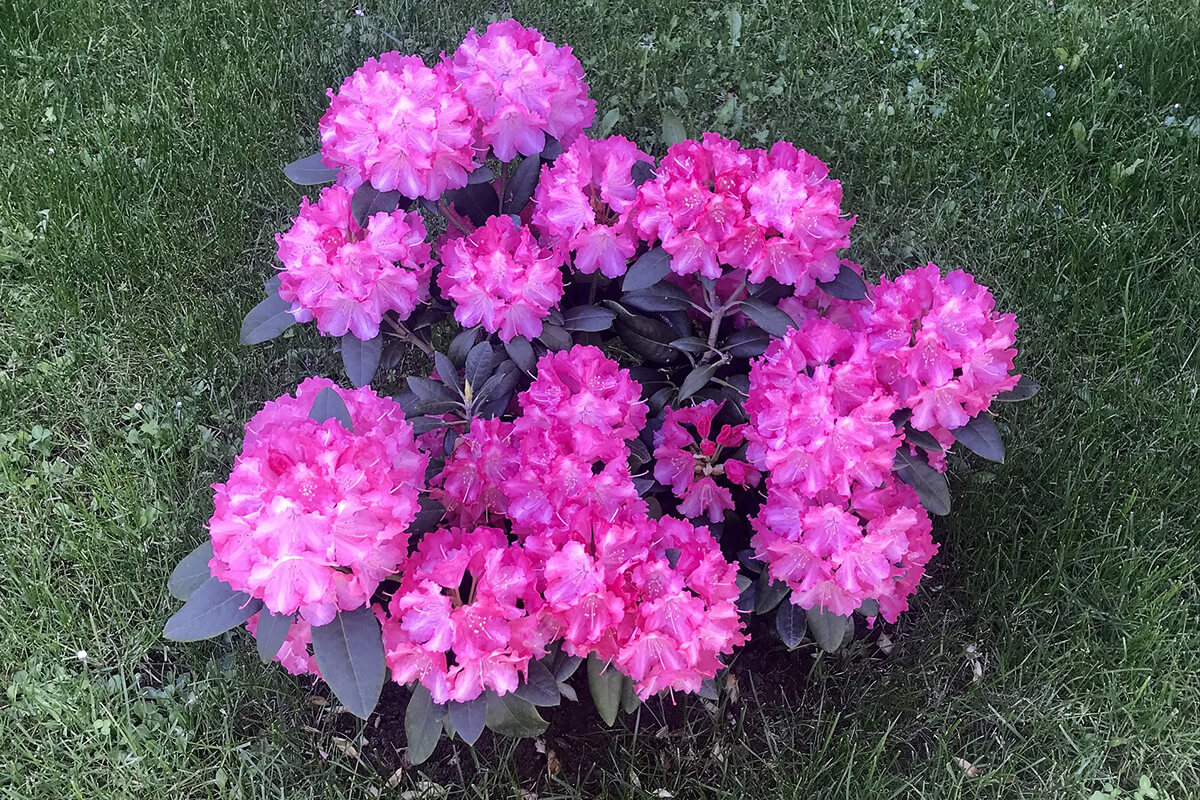 Mini-Rhododendron in pink