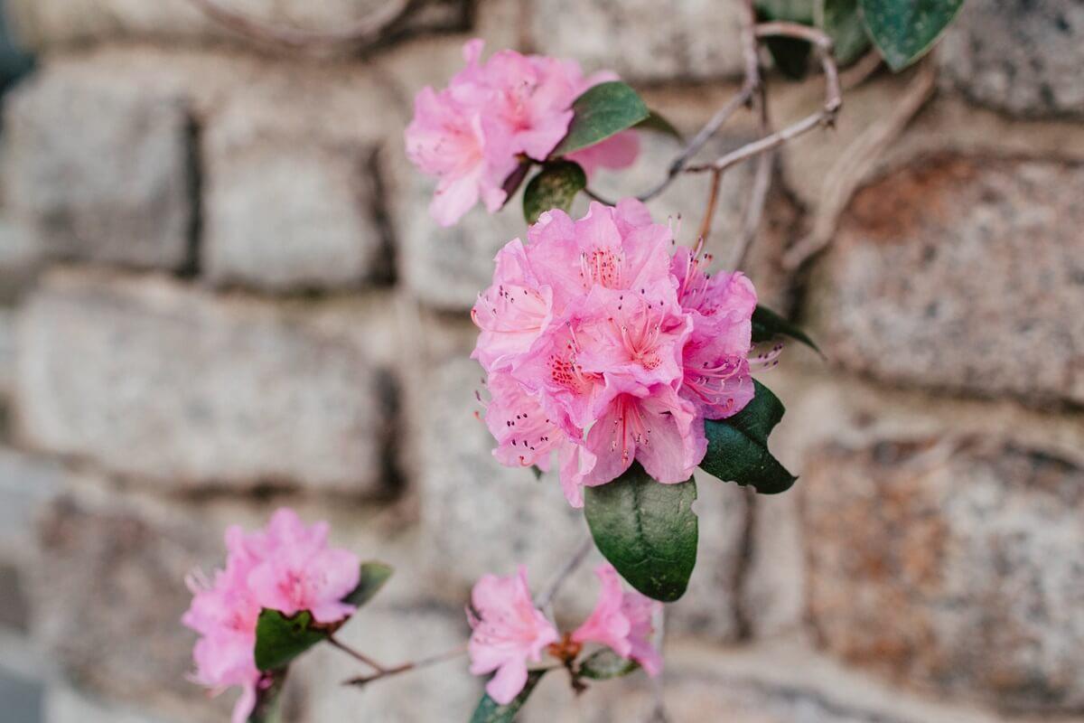 Rhododendron an gemauerter Hauswand
