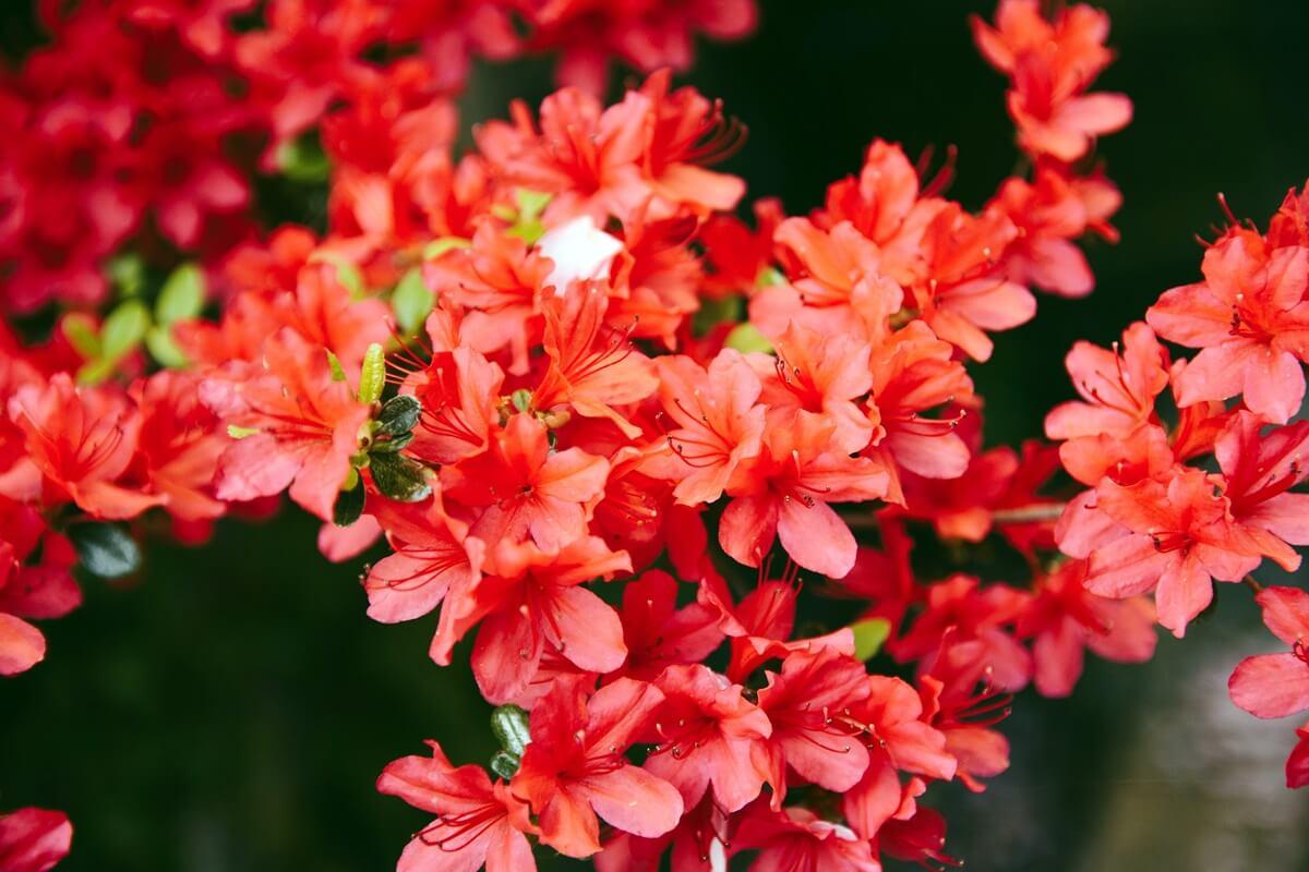 Rote Rhododendren-Blüten