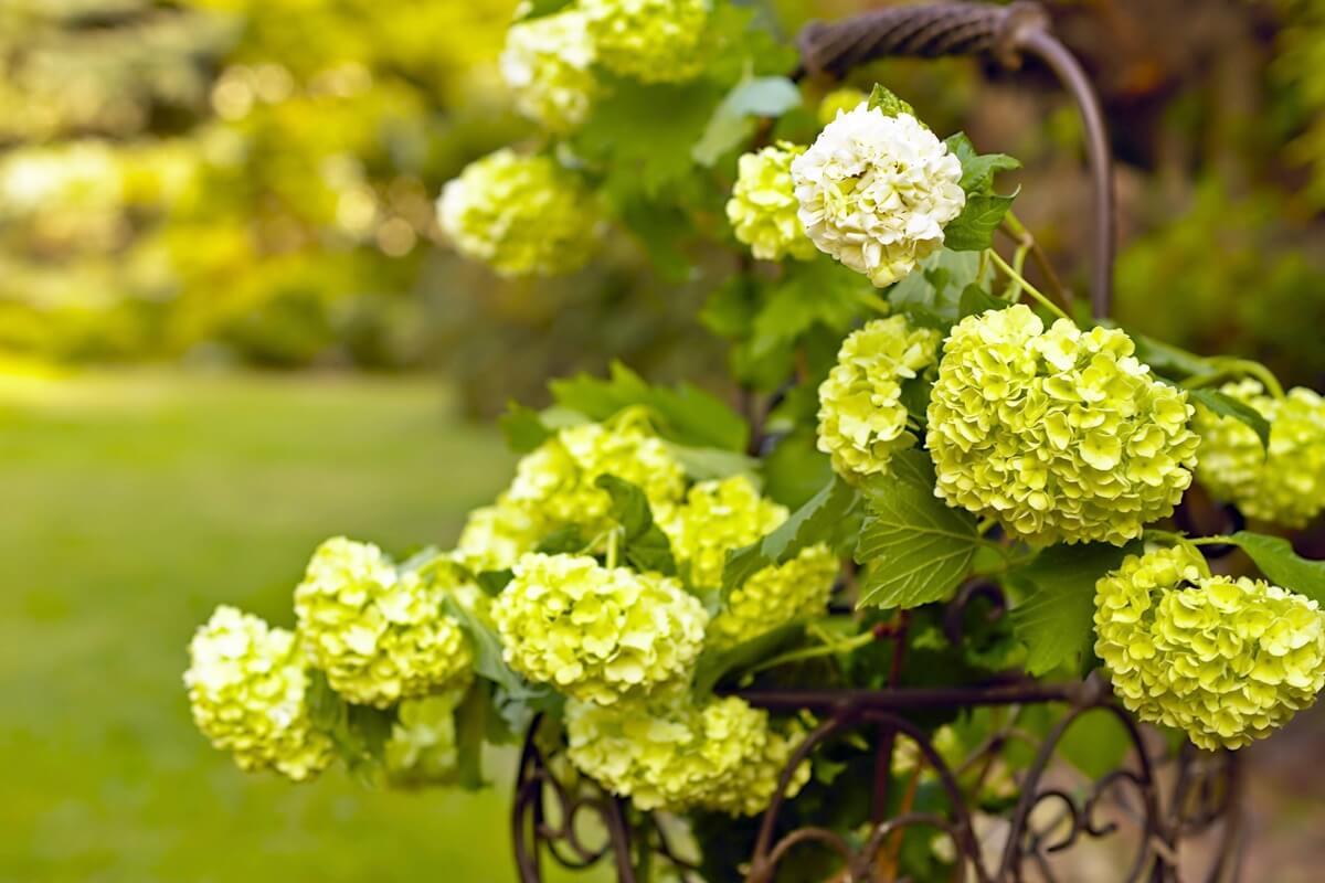 Weiße Schneeball-Pflanze