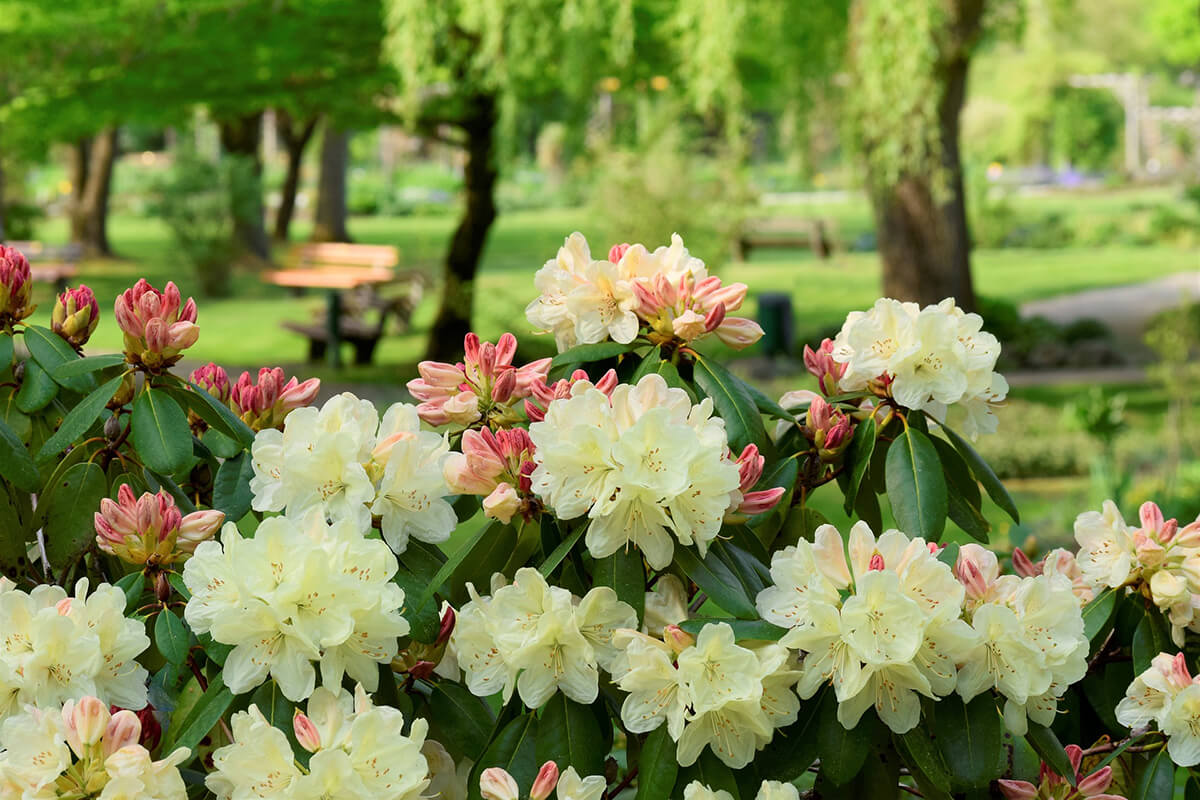 zartgelber Rhododendron