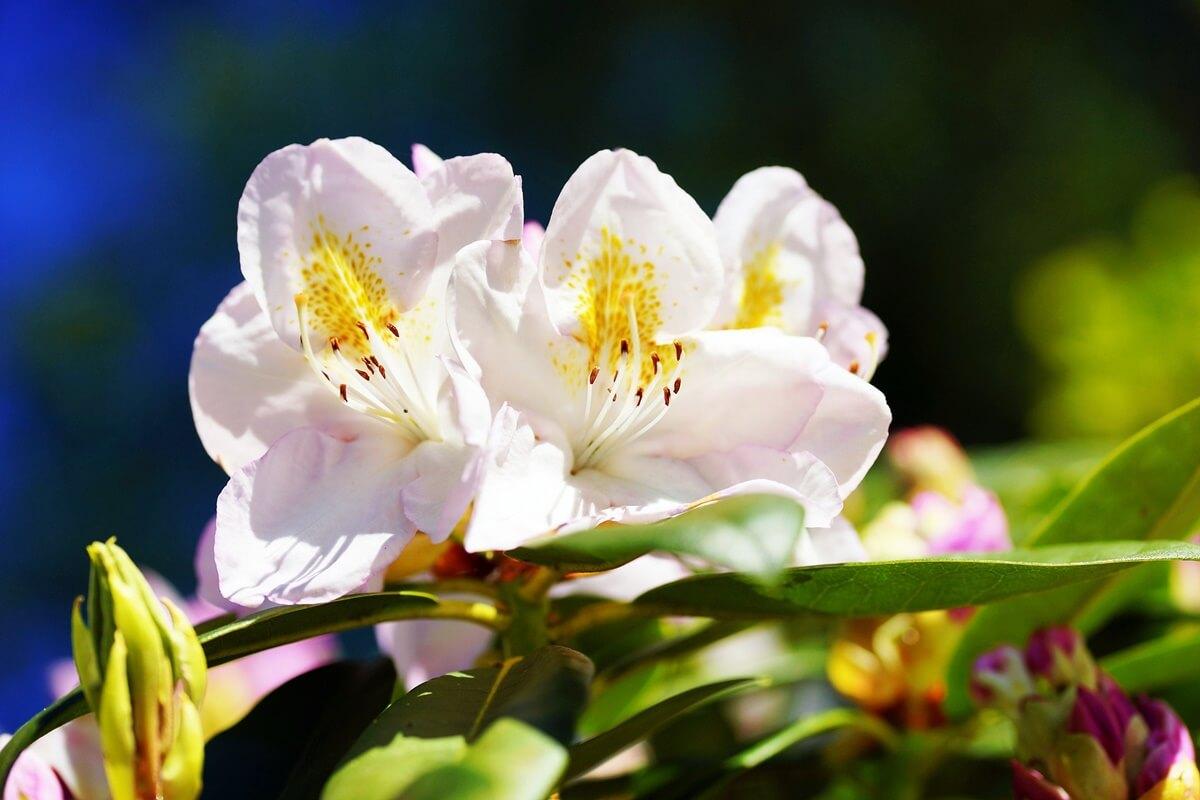 Laubabwerfende Azalee 'Persil' weiße offene Blüten