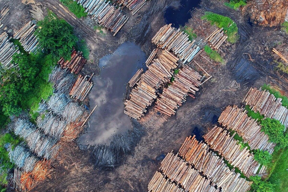 Gefällte Teakbäume werden für den Export gelagert