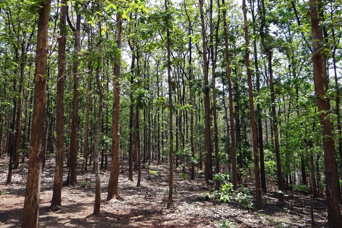 Wald mit Teakbäumen