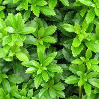 Bodendecker Pflanzen online kaufen