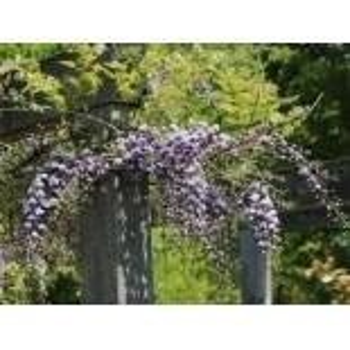 Blauregen 'Violacea Plena', 60-100 cm, Wisteria floribunda 'Violacea Plena'