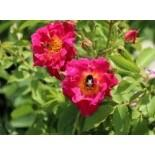 Bodendecker-Rose 'Red Foxi ', Rosa rugosa 'Red Foxi ', Containerware