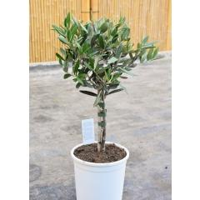Olivenbaum (Olea europaea) Ministamm