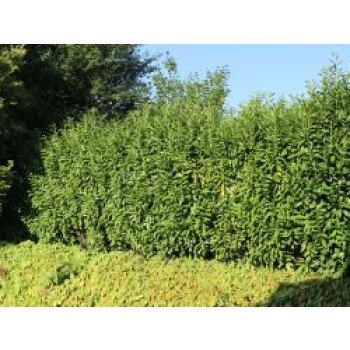 Kirschlorbeer / Lorbeerkirsche 'Genolia' , 80-100 cm, Prunus laurocerasus