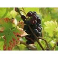 Weintraube / Pflaumentraube 'Kyoho', 80-100 cm, Vitis vinifera 'Kyoho'
