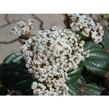 Immergrüner Kissen-Schneeball, 25-30 cm, Viburnum davidii, Containerware