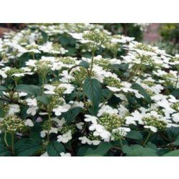 Japanischer Schneeball 'Summer Snowflake', 20-30 cm, Viburnum plicatum