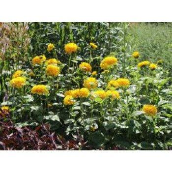 Stauden-Sonnenblume 'Soleil d'Or', Helianthus decapetalus 'Soleil d'Or'