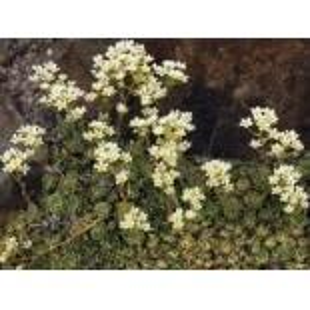 Trauben Steinbrech, Saxifraga paniculata subsp. brevifolia, Topfware