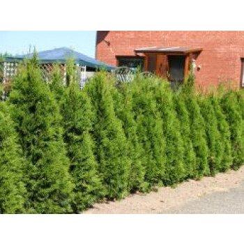 Lebensbaum 'Smaragd', 60-80 cm, Thuja occidentalis 'Smaragd', Containerware