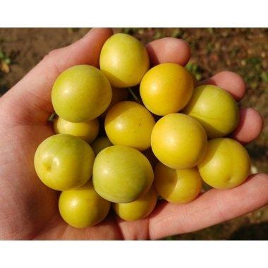 Rispenhortensie `Bobo´ Sommerblüher