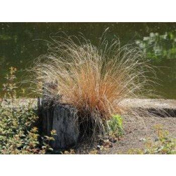Fuchsrote Neuseeland-Segge, Carex buchananii, Topfware
