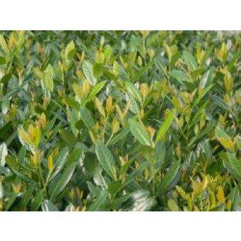 Kirschlorbeer / Lorbeerkirsche 'Diana', 40-60 cm, Prunus laurocerasus 'Diana'