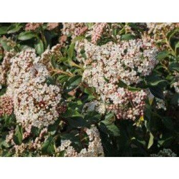 Lorbeer-Schneeball 'Eve Price', 25-30 cm, Viburnum tinus 'Eve Price', Containerw