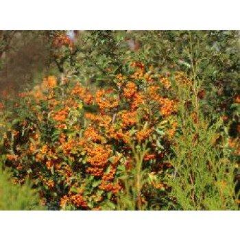 Feuerdorn 'Saphyr Orange' , 40-60 cm, Pyracantha 'Saphyr Orange' , Containerwa