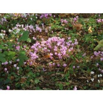 Herbst-Alpenveilchen, Cyclamen hederifolium...