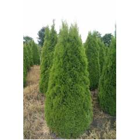 Lebensbaum Smaragd Thuja occidentalis 7.5 L Topf 80-100 cm