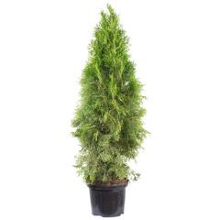 Lebensbaum, Thuja occidentalis »Smaragd«, Lieferhöhe: 80 100 cm