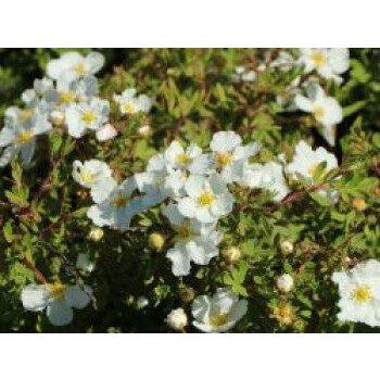 Fingerstrauch 'Abbotswood', 20-30 cm, Potentilla fruticosa 'Abbotswood'