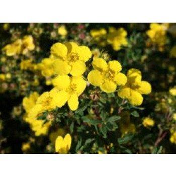 Fingerstrauch 'Sommerflor', 30-40 cm, Potentilla fruticosa 'Sommerflor'