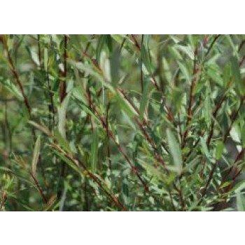 Kugelweide 'Nana', 30-40 cm, Salix purpurea...
