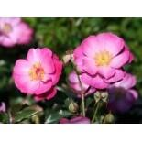 Bodendecker-Rose 'Lavender Dream' , Rosa 'Lavender Dream' , Wurzelware