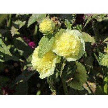 Gefülltblühende Stockrose 'Pleniflora' (Gelb), Alcea rosea 'Pleniflora'