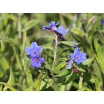 Purpurblauer Steinsame, Buglossoides...